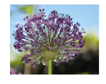 Allium, Rain, Purple color, fine art Photograph, purple, flower, 8x10, 4x6, Allium blossom, signed by Artist Donna Lindeen Harrington