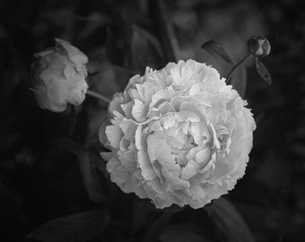 Black and White Photograph Of A Peony Flower