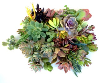 15 succulents cuttings succulent clippings succulent plants bulk succulents