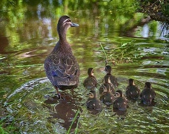 Mother duck with her ducklings in Gordon Tasmania Photograph