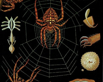 Old poster school zoology 1990 Jung-Koch-Quentell Spider Web Anatomy Jung-Koch-Quentell; 21 x 29cm apprx / 8.26 x 11,41 inches