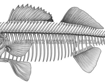 Walleye Skeleton Digital Download