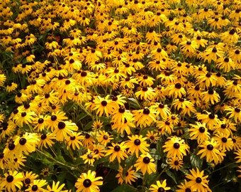 30+ Heirloom Black Eyed Susan Seeds