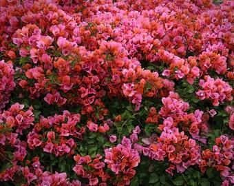 Pink Flower Photo, 5x7 Photo, Bougainvillea Photo. Fine Art Photo