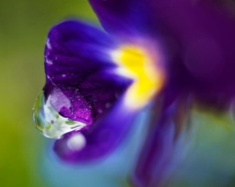 Waterdrop On Purple Flower photograph (yellow, green, water, blossom, FineArt)