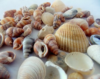 Set of 50 Shells for Crafting Wreaths.  Craft Shells  . Shells for Crafting.natural sea shells