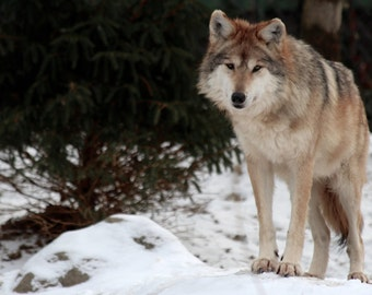 Wolf, Wildlife Photography, Nature Photography
