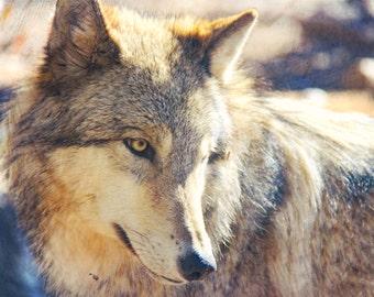 Wolf Photo, Gray Wolf, Fine Art Photography, Nature Print