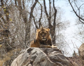 Sunbathing Lion