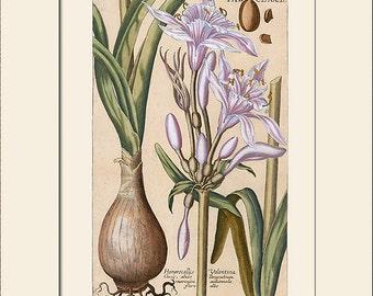Daylily Print, Hemerocallis, Botanical Art Print with Mat, Natural History Illustration, Wall Art, Wall Decor