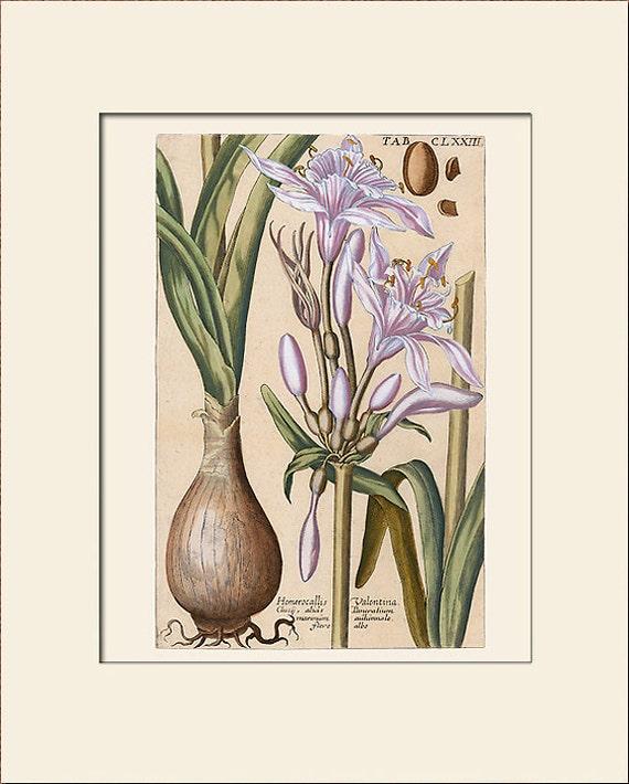 Botanical Print, Daylily Print, Hemerocallis, Print with Mat, Natural History Illustration, Wall Art, Wall Decor