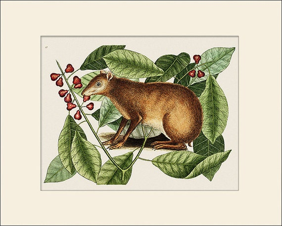 Java Hare, Marmot, Mark Catesby, Art Print with Mat, Antique Natural History Illustration, Wall Art, Wall Decor, Vintage Animal Print