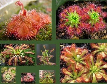 Drosera Seeds Collection (Sundew) BIG Packet - 100 Seeds, 10 Species (Common & Rare)