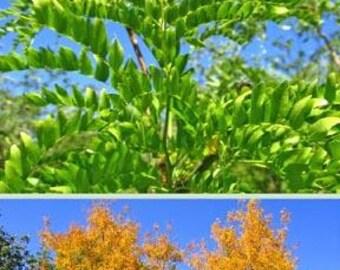 Thornless Honey Locust Tree