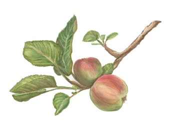 """Apple Branch Watercolor Painting """"Apple Tree in PV"""""""