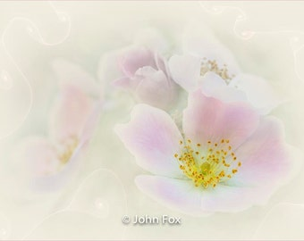 Limited edition print  'Wild roses', a Giclee fine art print