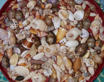 Hawaiian Seashell, North Shore Oahu, Seashell craft supplies, Cone Shells, Cowrie Shells, Bulk Hawaiian Seashell, Shell Jewelry, Beach Decor