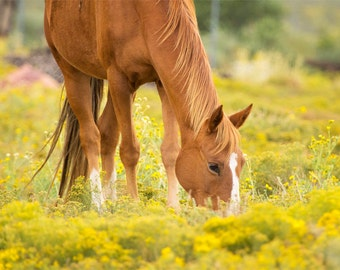 Horse in Golden Meadow Photograph - 11x14 Color Horse Photography Print