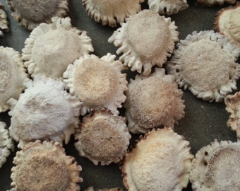 Deer Antler Burrs-  Carving Rosettes, Buttons or Pendants- Choice of Size and Style