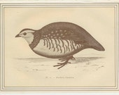 Barbary Partridge, French Game Bird Antique Bird Print 1884 French Country Style, Country Cottage Decor, Hunting Decor, Etching Sepia/Gold 5