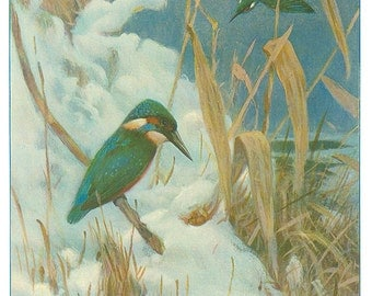 Kingfisher: Reproduction Antique Print, Lydekker 1916, Natural History, Wildlife Art, Library Decor, Wild Animal Art, Zoology, Nature Print