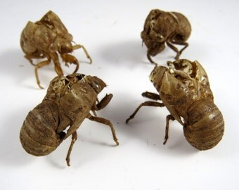 4 Cicada Exoskeletons, Creepy and Scary Bug Shells Insect Specimens Bug Skins
