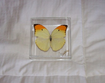 Real Pastel Yellow Butterfly With Bright Orange Tips