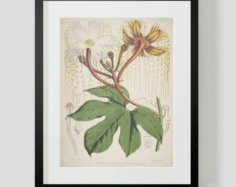 Botanical Illustration Himalayan Plate I (1)