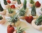 Air Plant Urchin // Valentine Gift