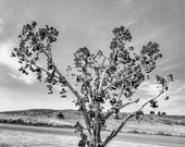 Shoe Tree Sierra Navada Valley not far from Lake Tahoe Black and White Fine Art Photography Print 8x10