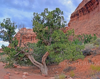 Twisted Pine Tree at Arches National Park Utah Wall Art Home Decor Digital Download or Photo Print Fine Art Photography Fisherimages