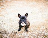 Riblet, French Bulldog photograph, fine art photography, pet photography, Frenchie, brindle, Frenchie photography