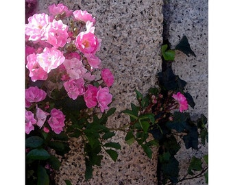 Pink Climbing Roses On Granite Wall, Rockport, Massachusetts, SPECIALIZING in CUSTOM ORDERS