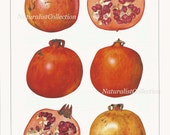Fruit Print 1991 Vintage Art Original Book Plate 43 Beautiful Pomegranate Chart Room Kitchen Dining Wall Decor Bookplate Picture to Frame