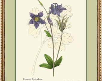 COLUMBINE - Botanical print reproduction 176