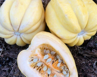 White Acorn Squash Heirloom Winter Squash Very Rare Seeds