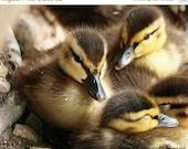 65% OFF Duck Photography - Snuggly Ducklings - Baby Mallard Ducks - 8x10 Fine Art Photo Print