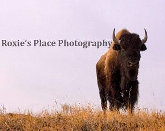 Bison standing guard - Wildlife print