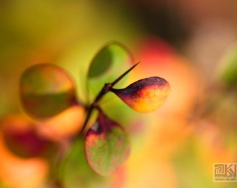 Orange Autumn Leaves, Fall Foliage print, Green Red  Fall, Nature photography, Barberry Detail, Woodland Cottage, Autumn photography