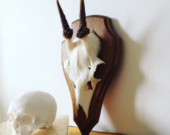 Roe Deer Antlers (7)