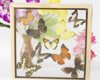 REAL mixed BUTTERFLIES Taxidermy Double Glass in Frame /M90CC