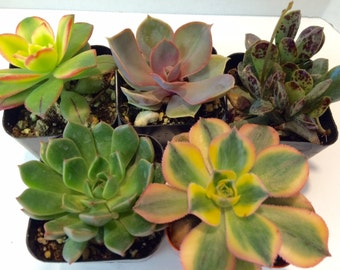 Succulent Plant Assortment. Available as a single plant, two or three plants.