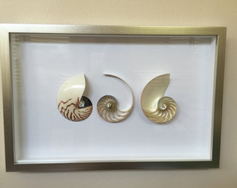 Tiger Nautilus Sea Shell Beach Art
