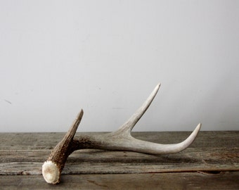 Natural Shed Deer Antler