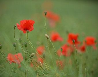 Poppy photo, flower photo, wild flower photo, flower art, country home decor, green, red, flower wall art