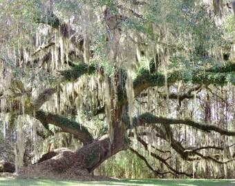 Oak Tree Photograph Southern Landscape Photo 8x10 Live Oak Tree Art Print