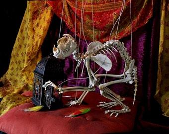 Articulated Real Bone Raccoon Skeleton Marionette