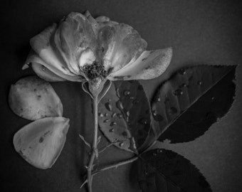 Still Life Photography, Floral Photography, Flower Fine Art Photography, Black and White Photograph, Vintage Home Decor Photograph, BW Photo