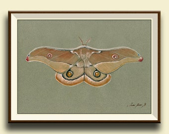 PRINT-Emperor gum moth - Opodiphthera eucalypi moth - insect art drawing  print watercolor painting art wall moth-Print by Juan Bosco