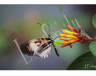 Butterfly Sips from Flower Photograph